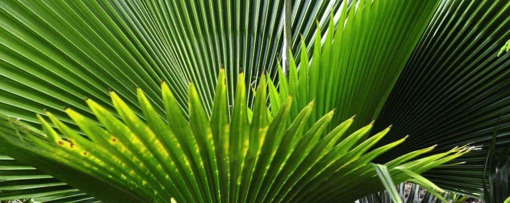 Le palmier nain pour grossir des seins