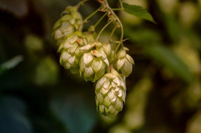 le houblon pour les seins